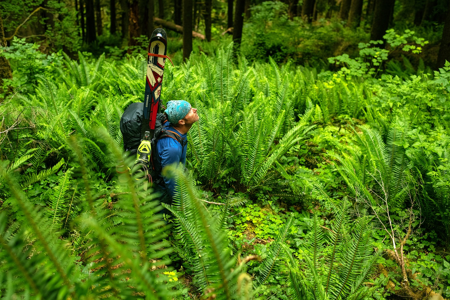 A backcountry skier with his skis on his backpack hikes through lush ferns in the rainforest in the Olympic Peninsula