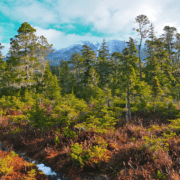 A fall scene with trees and snow-capped mountains in Alaska's Tongass National Forest